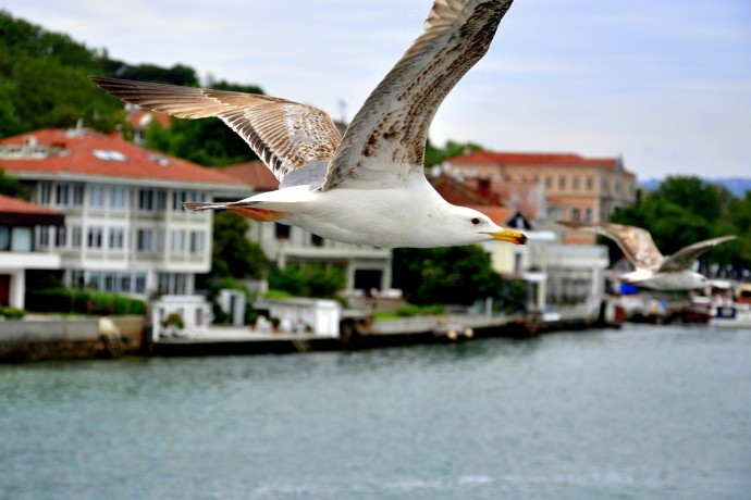 Seagulls Over The Bosphorus Shores